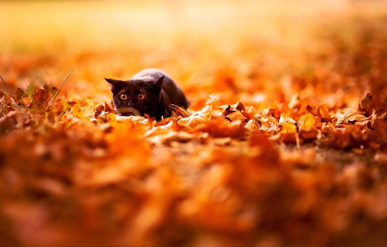 Photo wallpaper autumn, cat, leaves, color, nature, background, Wallpaper, black, bright