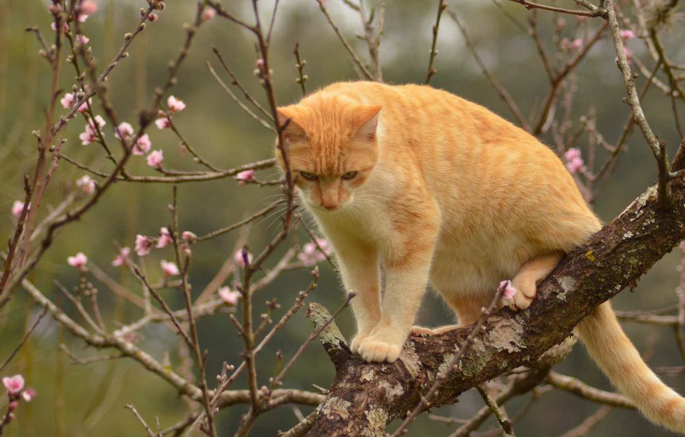 Photo wallpaper cat, cat, branches, tree, spring, red, on the tree