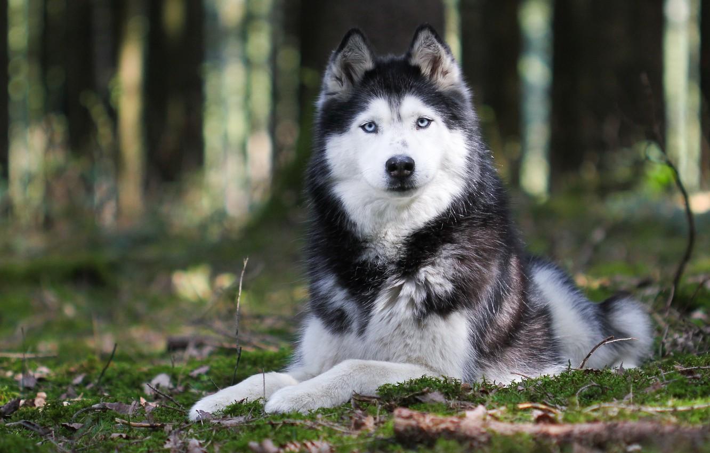 Photo wallpaper nature, animal, dog, paws, ears, husky, breed. look
