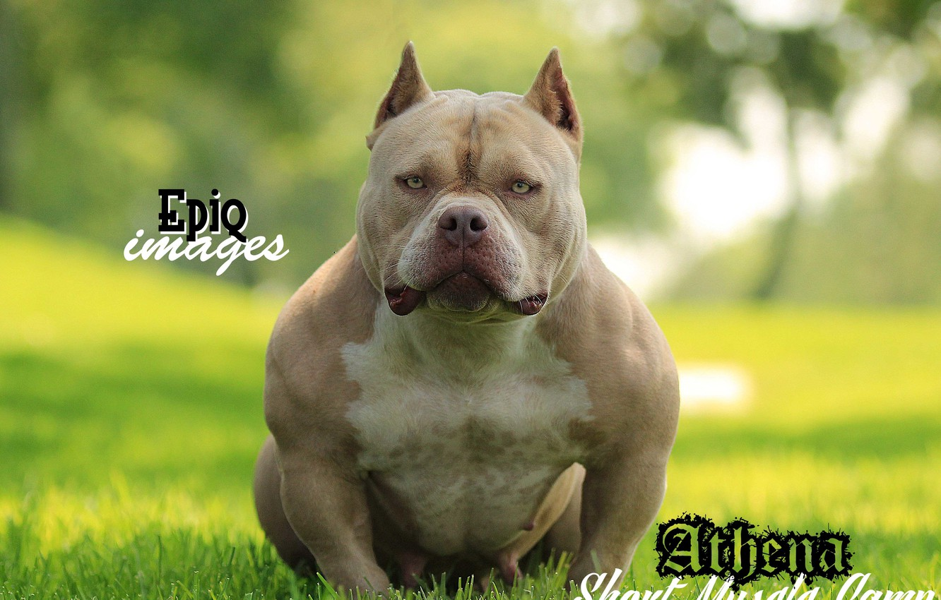 Wallpaper Dog Powerful Breed American Bully Images For