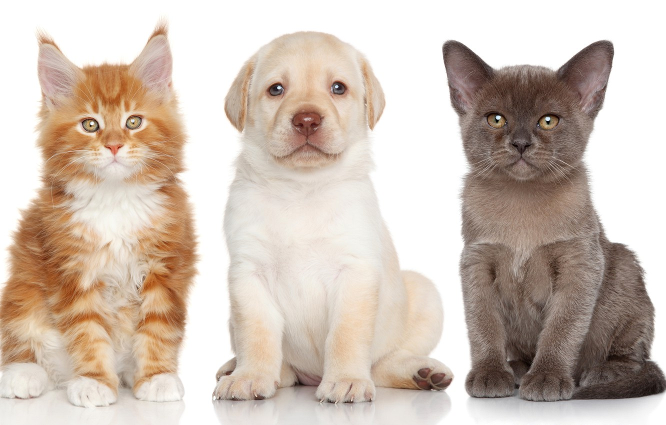 Photo wallpaper dog, kittens, puppy, Labrador Retriever, The Burmese, Maine Coon