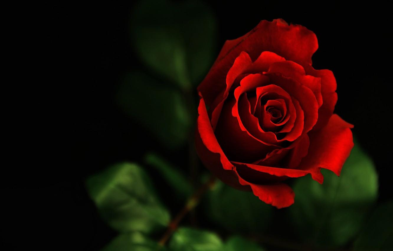 Wallpaper Flower Macro Dark Rose Images For Desktop