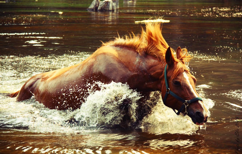 Photo wallpaper water, squirt, lake, splash, Horse, crocodile catches