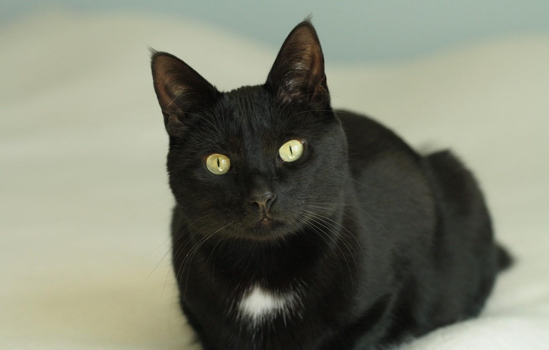 Photo wallpaper cat, eyes, cat, look, black, yellow, lies