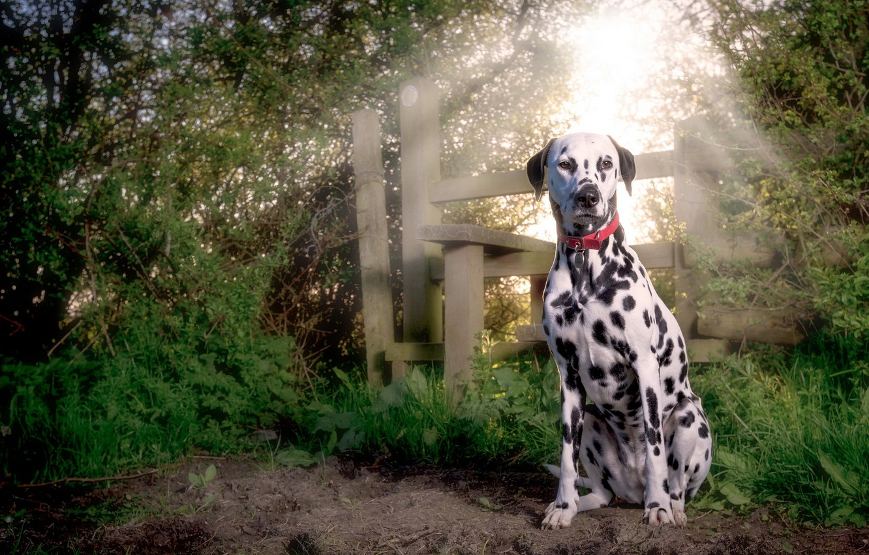 Photo wallpaper puppy, dog, dalmatian