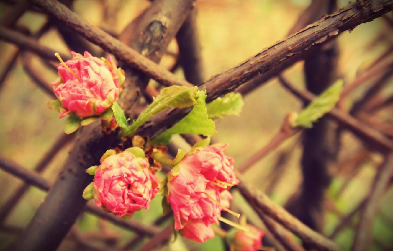 Photo wallpaper macro, flowers, tree, pink, rose, Bush, branch, spring, three