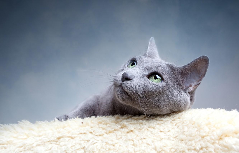 Photo wallpaper cat, eyes, cat, mustache, look, grey, green, blue, Russian, breed