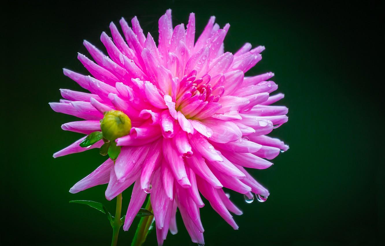 Photo wallpaper background, pink, Dahlia, Rosa. drops