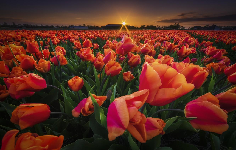 Photo wallpaper field, sunset, flowers, tulips