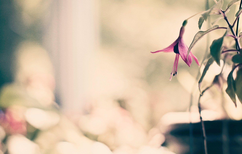 Photo wallpaper flower, leaves, macro, flowers, background, pink, widescreen, Wallpaper, blur, petals, wallpaper, flower, widescreen, background, full …