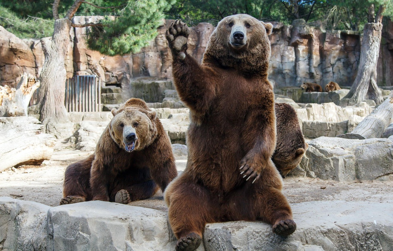 Photo wallpaper paw, the situation, bears, friendship, men, friends, zoo, stroke, hangover, zoo, friends, situation, bears, dudes, …