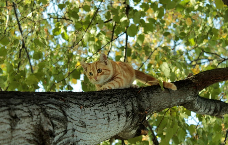 Photo wallpaper foliage, birch, Ginger kitten