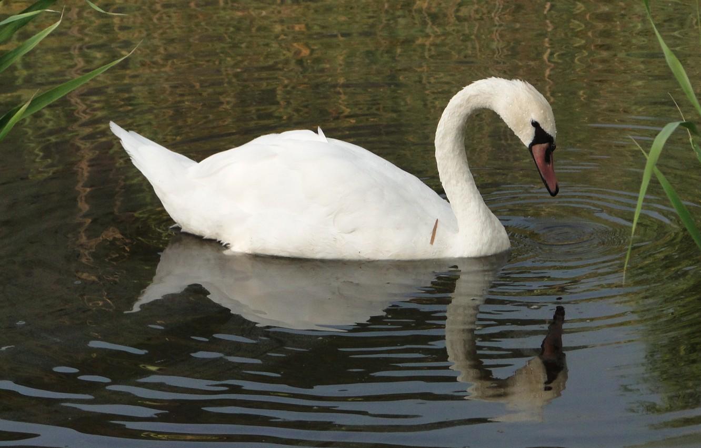 Photo wallpaper lake, bird, Swan, Akela White