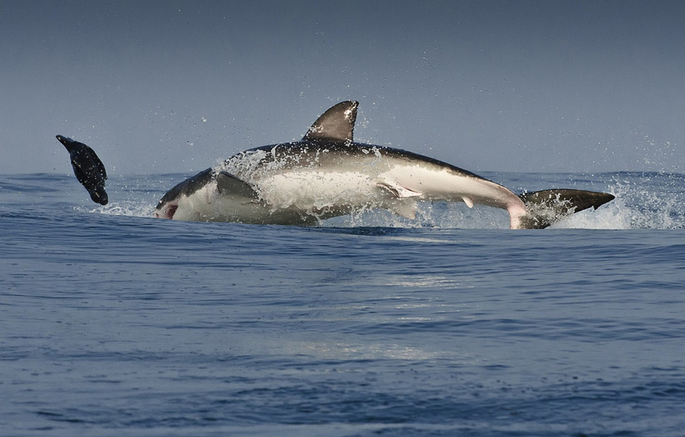 Photo wallpaper BODY, The OCEAN, DROPS, WHITE, SQUIRT, SHARK, PREDATOR, The VICTIM, FINS, CHASE, The THREAT