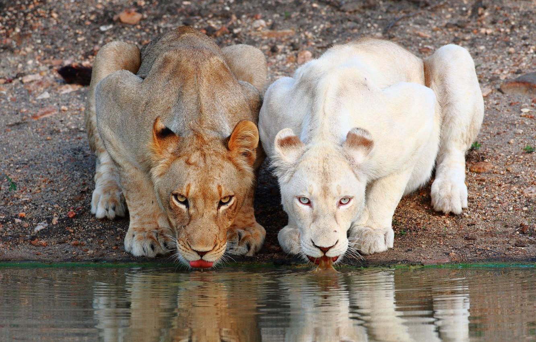 Photo wallpaper lions, drink, lioness
