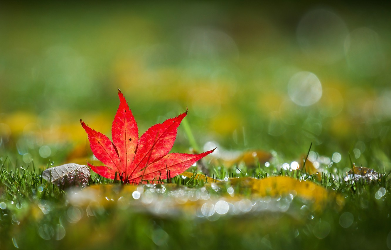 Photo wallpaper grass, autumn, bokeh, leaf, mapleleaf
