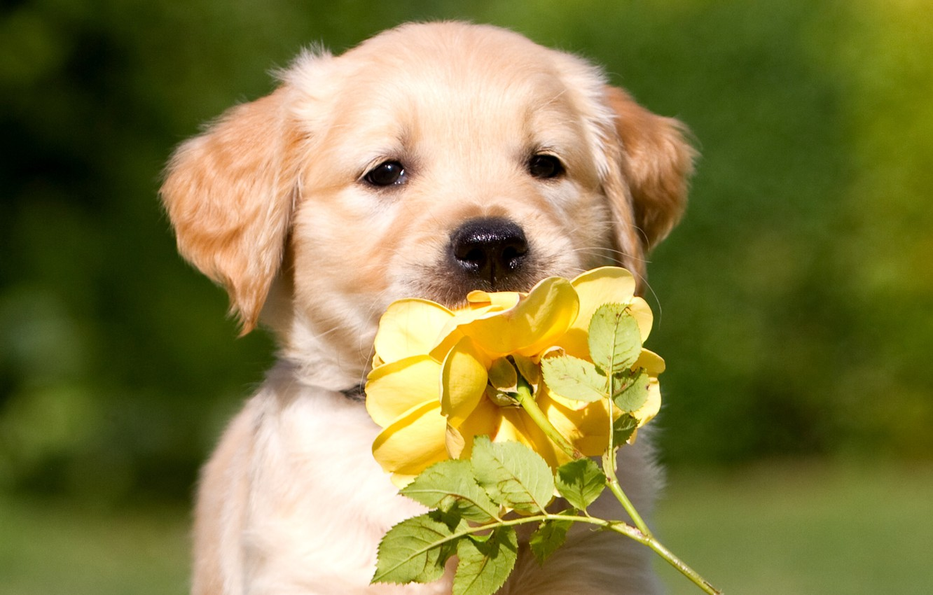 Photo wallpaper flower, rose, dog, puppy, color, yellow, beige