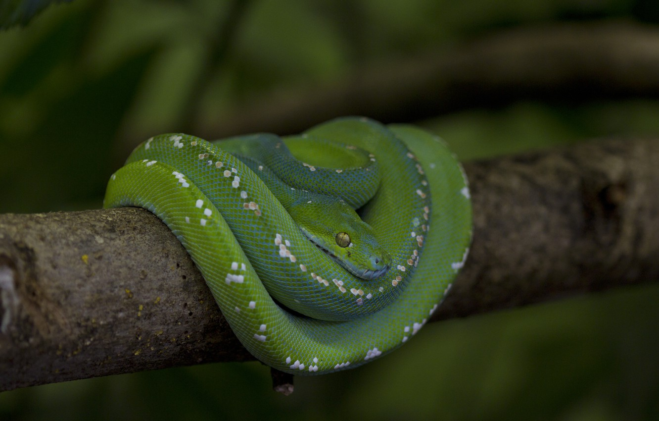 Photo wallpaper snake, branch, scales, Python, green