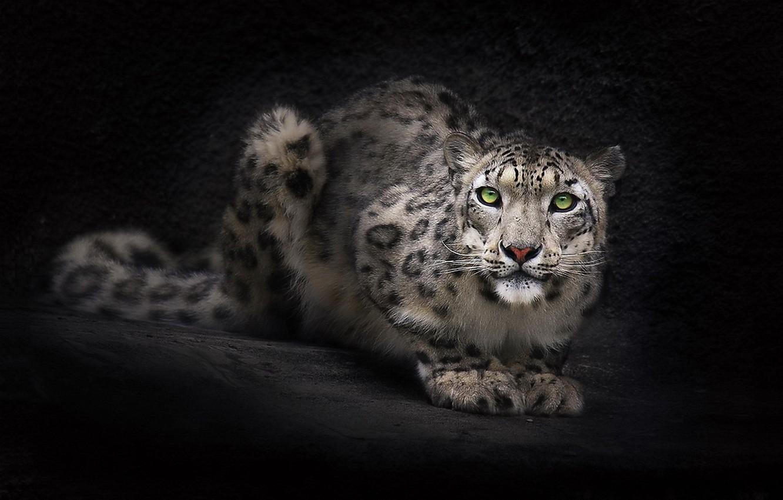 Photo wallpaper look, face, background, Wallpaper, Snow leopard, IRBIS, dark