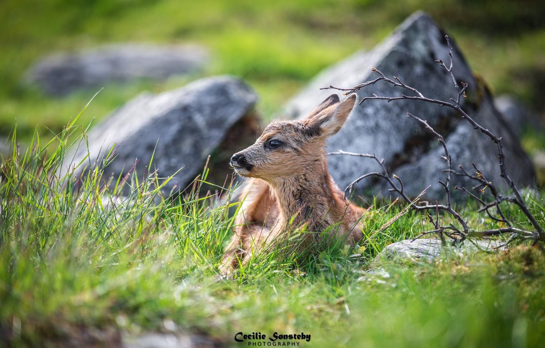 Photo wallpaper grass, face, lies, cub, fawn, hid