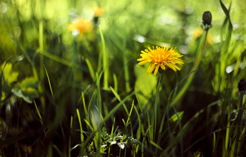 Photo wallpaper greens, summer, grass, yellow, heat, dandelion, spring, Helios