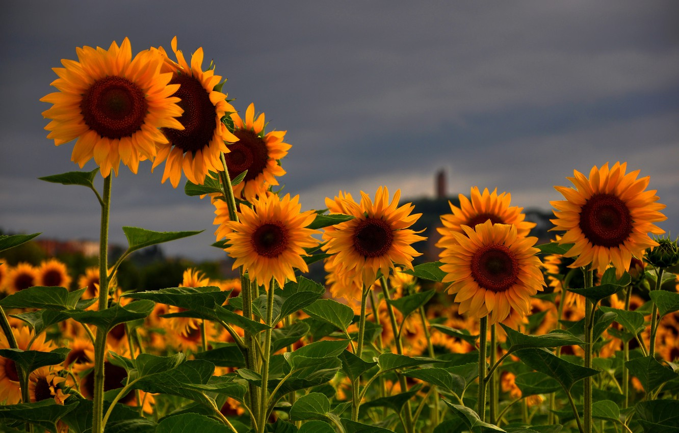 Photo wallpaper field, summer, the sky, flowers, nature, Sunflowers, grey