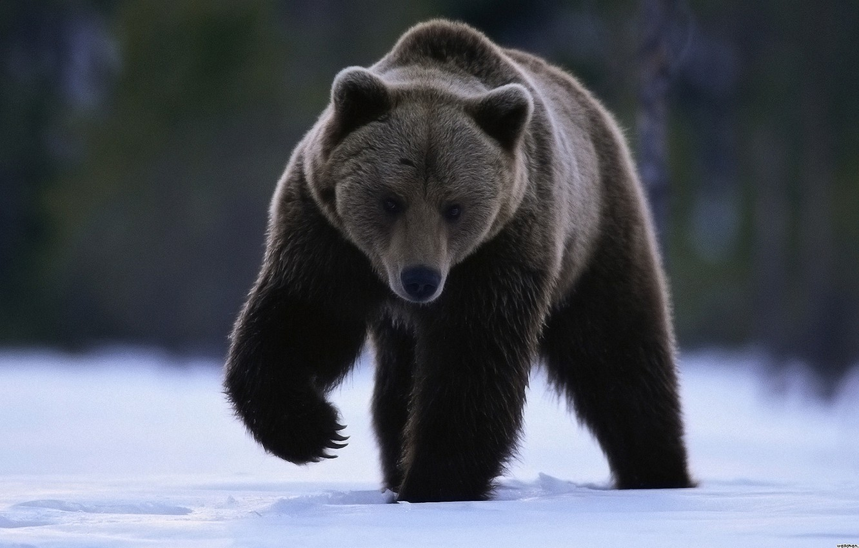 Photo wallpaper look, snow, paw, bear
