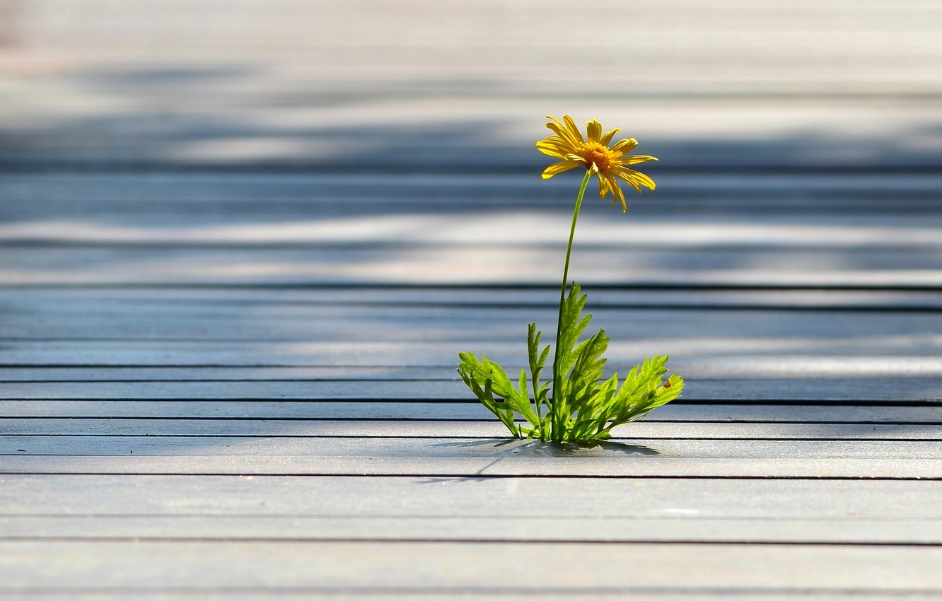 Photo wallpaper flower, yellow, tree, lonely, weed, floorboards