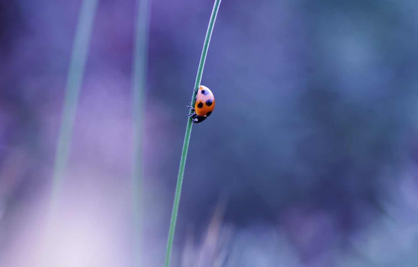 Photo wallpaper macro, ladybug, beetle, stem, insect, a blade of grass