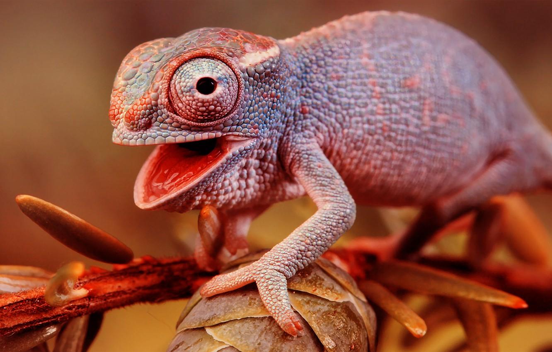 Photo wallpaper chameleon, branch, lizard, color