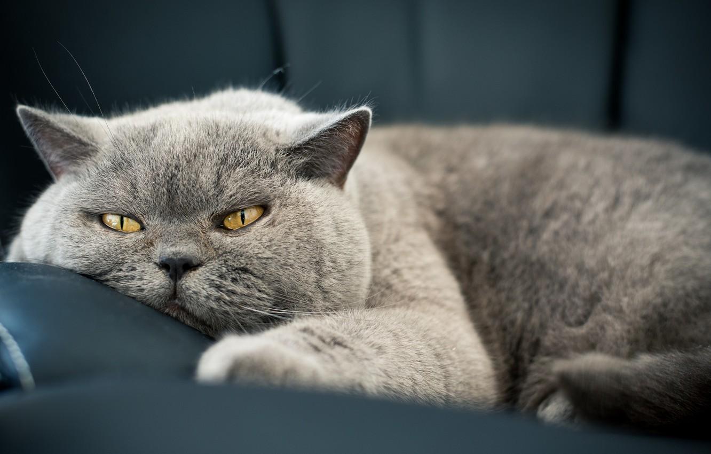Photo wallpaper cat, eyes, cat, look, face, wool, Koshak