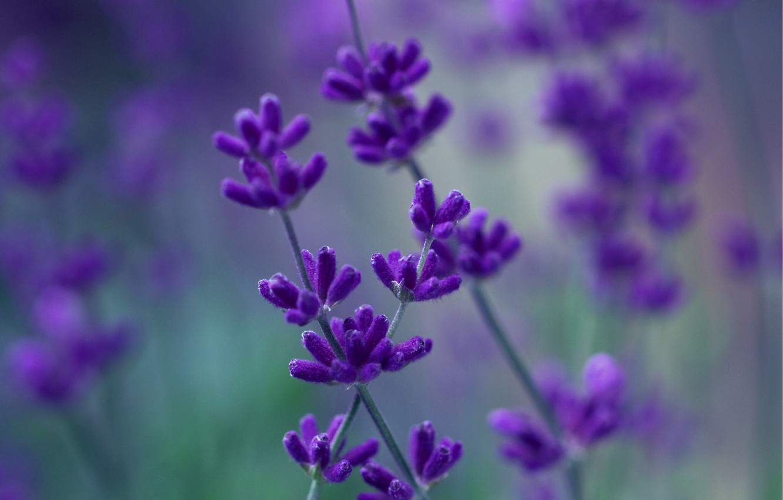 Photo wallpaper macro, flowers, blur, purple, lilac, Lavender
