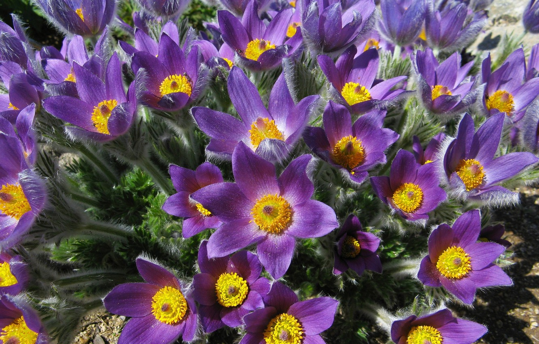 Wallpaper Purple Flowers Bouquet Spring Petals Villi Sleep Grass Images For Desktop Section Cvety Download