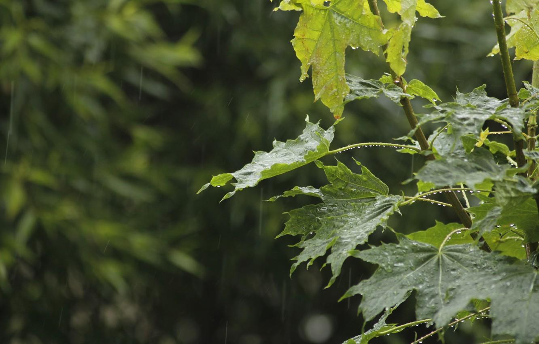 Photo wallpaper drops, nature, rain, Bush, branch, maple, maple, IVA