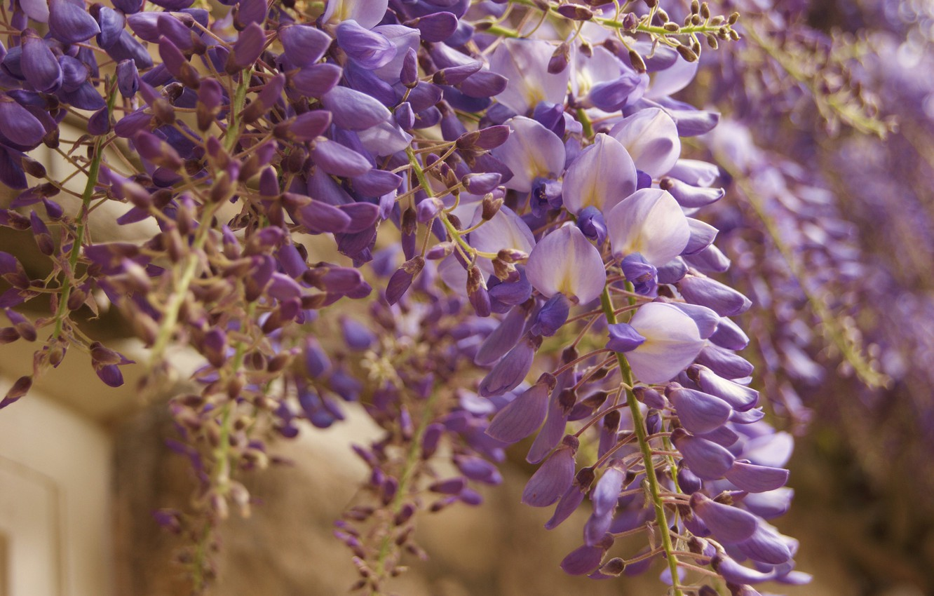 Photo wallpaper flowers, bunch, lilac, Wisteria
