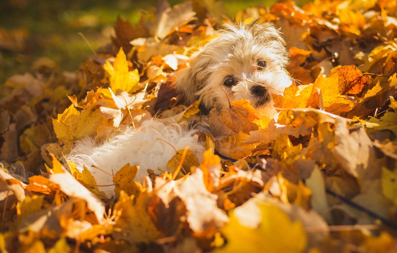 Photo wallpaper autumn, leaves, dog