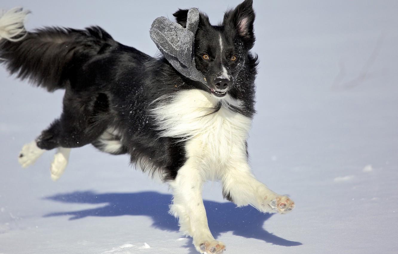 Photo wallpaper winter, snow, the game, dog, varyushka