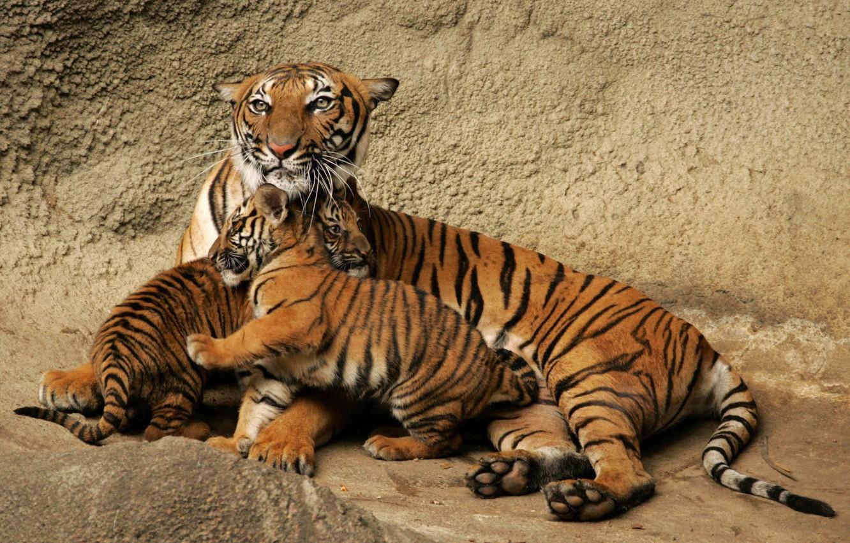 Photo wallpaper family, the cubs, Tigress