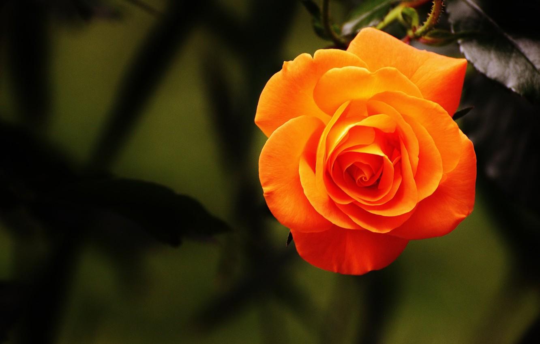 Photo wallpaper leaves, orange, rose, petals, Bud