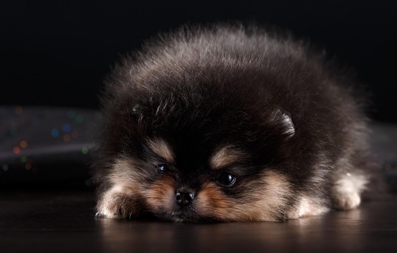Photo wallpaper cute, puppy, Spitz