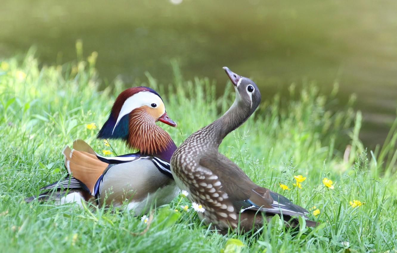 Photo wallpaper grass, duck, female, male, Mandarin