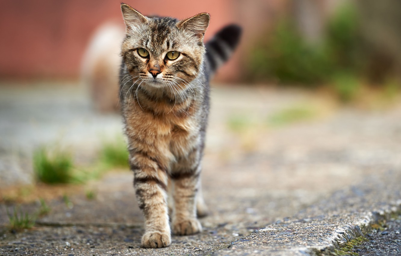 Photo wallpaper cat, cat, asphalt, grey, street, striped
