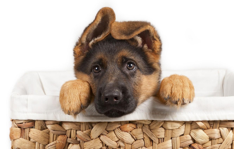 Photo wallpaper puppy, dog, pet, German Shepherd