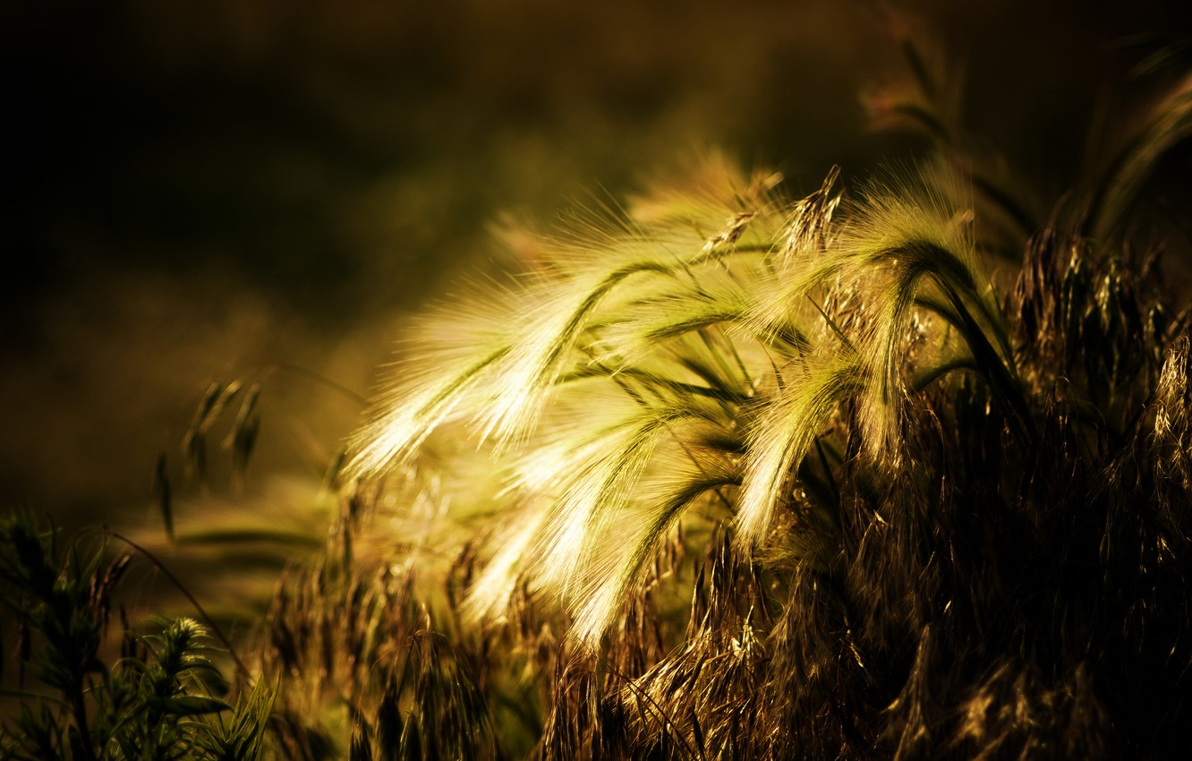 Photo wallpaper wheat, the sun, background, widescreen, Wallpaper, plant, rye, spikelets, wallpaper, ears, different, widescreen, background, full …