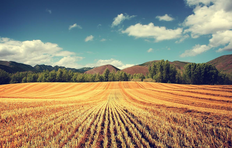 Photo wallpaper wheat, field, trees, harvest, ears