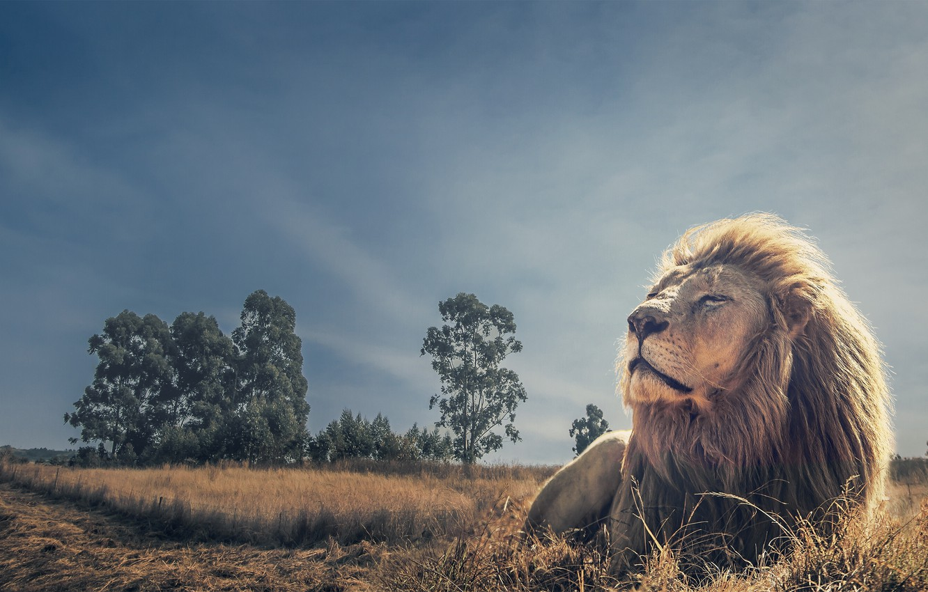 Photo wallpaper stay, Leo, the king of beasts