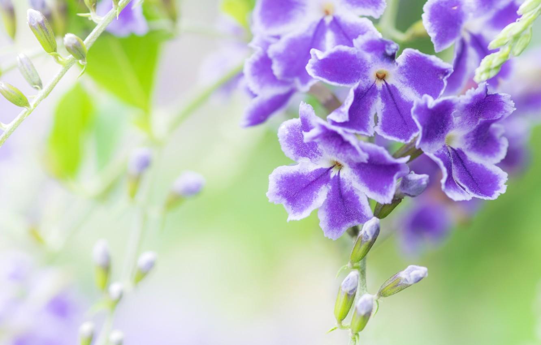 Photo wallpaper purple, macro, exotic, duranta