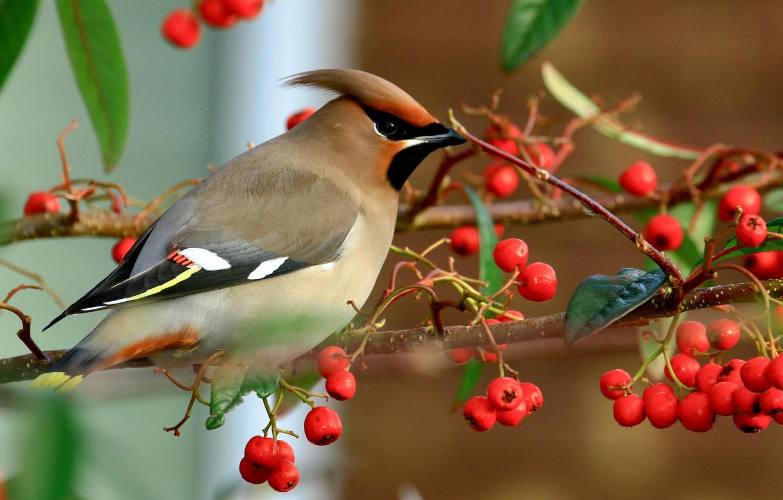 Photo wallpaper autumn, birds, nature, berries, bird, branch