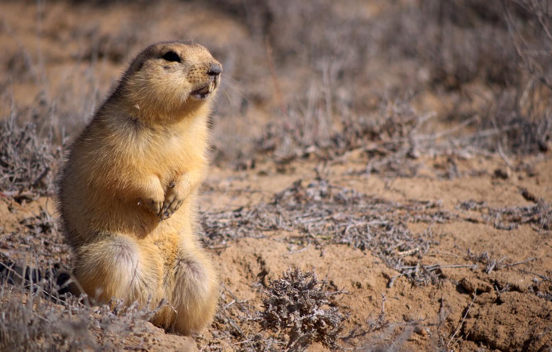 Photo wallpaper sand, animal, small, sitting, looks, Gopher