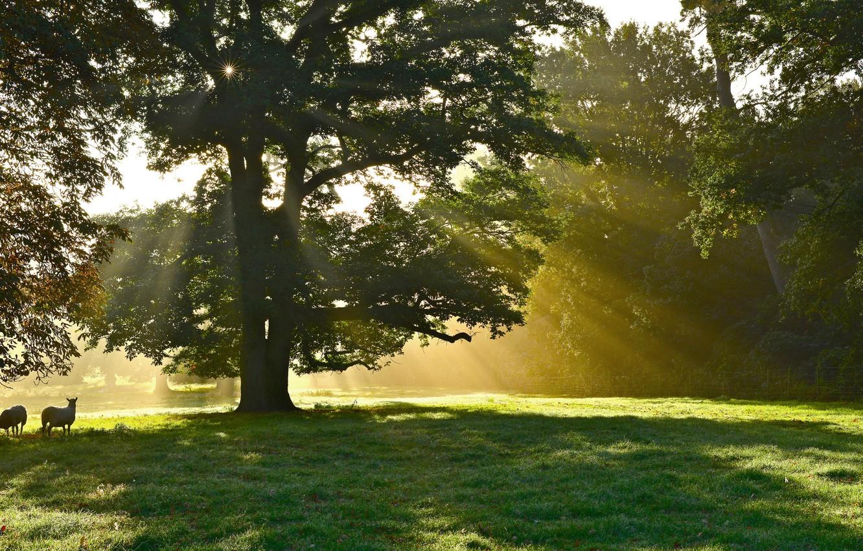 Photo wallpaper animals, rays, trees, Park, tree, sheep, solar